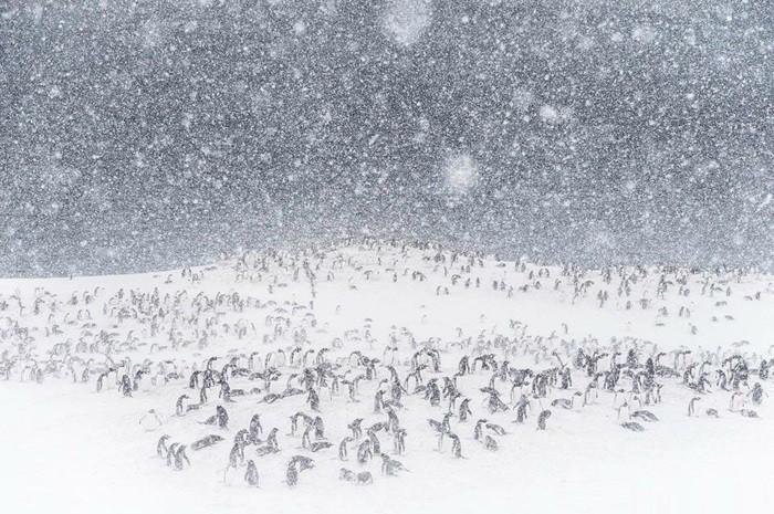 ou-vivent-les-pingouins-petit-manchot-pingouin-volant-manchot-papou-idee-image