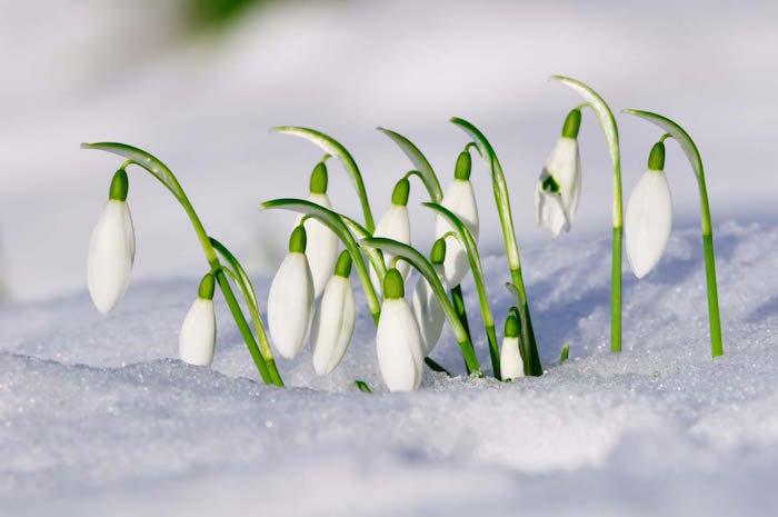 perce-neige-galanthus-nivalis-fleurs-dhiver-fleur-jardin