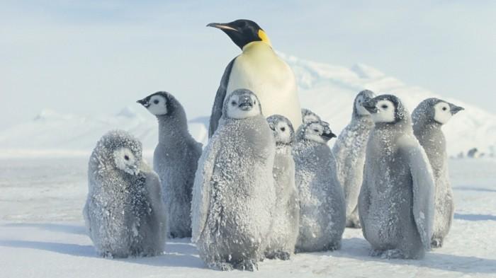 photo-manchot-pingouins-et-manchots-bebes-sur-la-neige