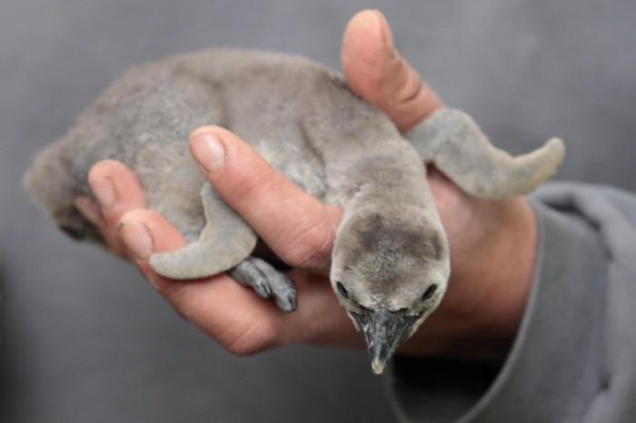 photo-manchot-pingouins-et-manchots-trop-petit