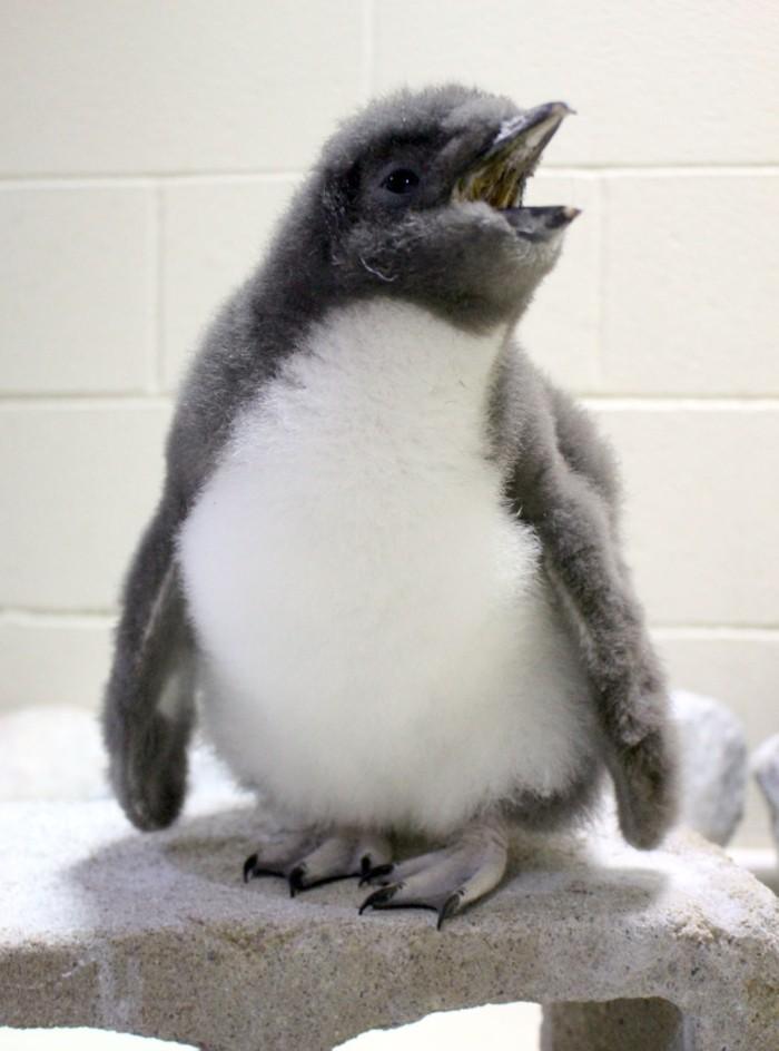 pingouin-manchot-difference-bebe-manchot-bebe-mignon