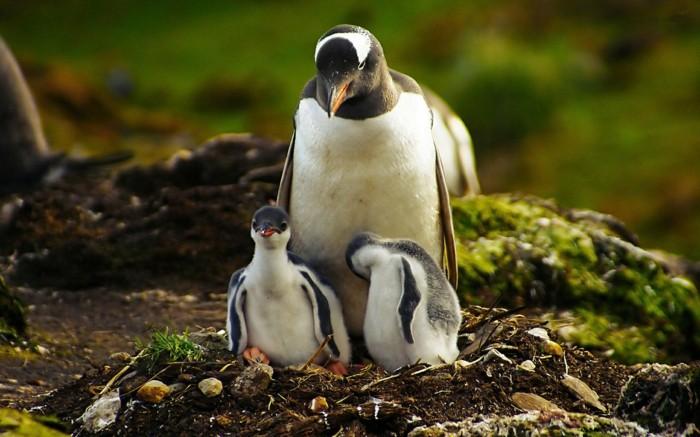 pingouin-manchot-difference-bebe-manchot-vert-cool-idee