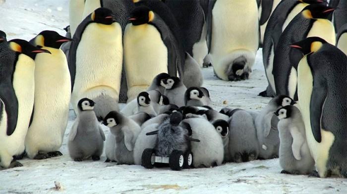pingouin-manchot-difference-bebe-manchot