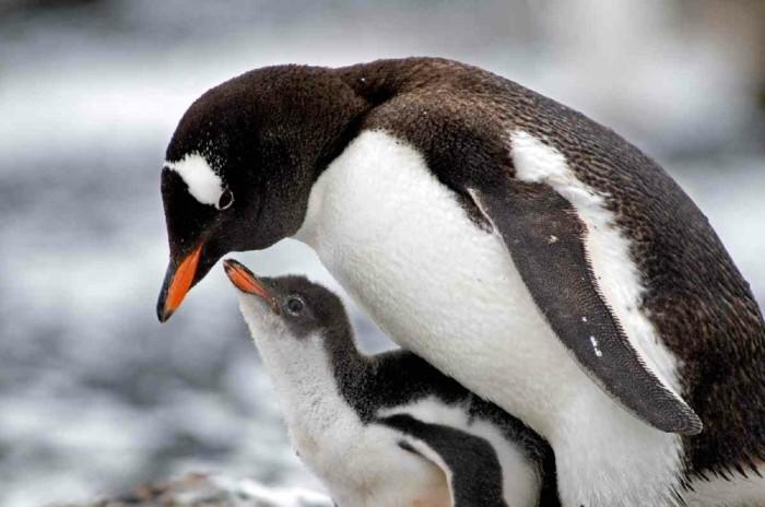 pingouin-volant-manchot-papou-idee-image