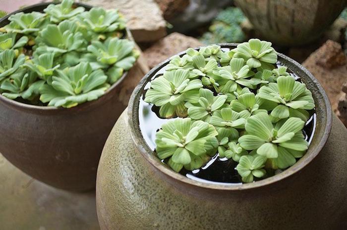 plante-aquatique-flottante-dans-jardin-aquarium-pot-eau