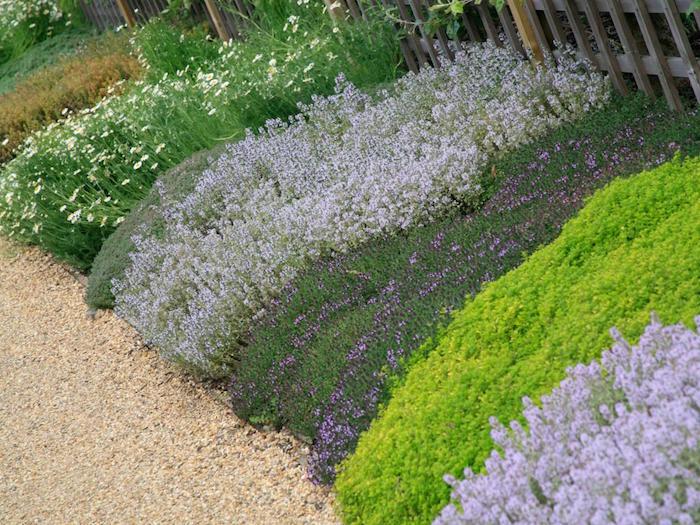 plante-couvre-sol-lavande-plante-rampante