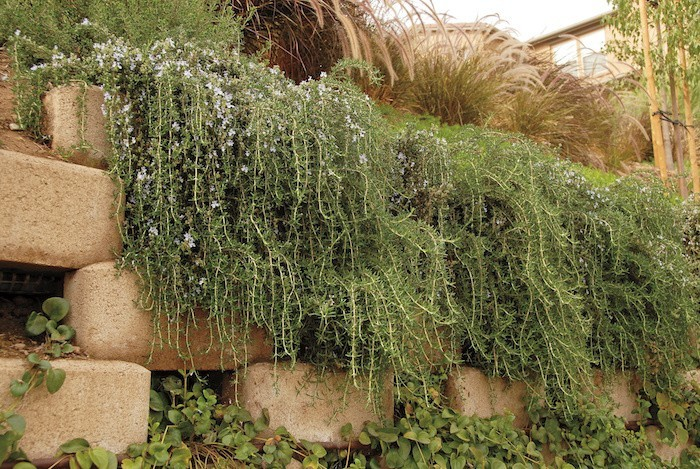 plante-couvre-sol-romarin-rampante-tombante-vivace