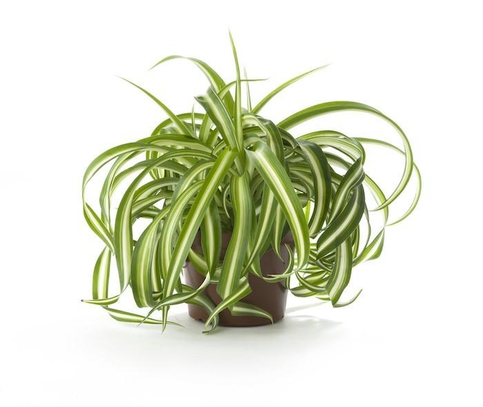 plante-depolluante-le-chlorophytum-chambre-bureau