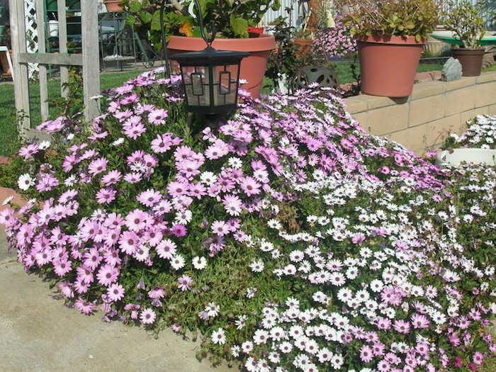 plante-pour-talus-plantes-couvre-sol-fleurs-vivaces