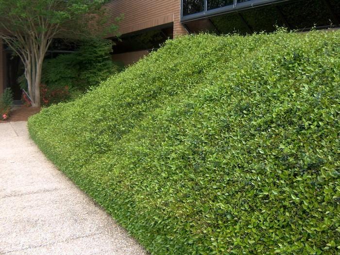 plante-pour-talus-plantes-rampantes-tapissante