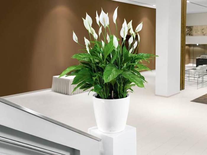 plante-spathiphyllum-depolluante-plantes-depolluantes-interieur-anti-pollution-air