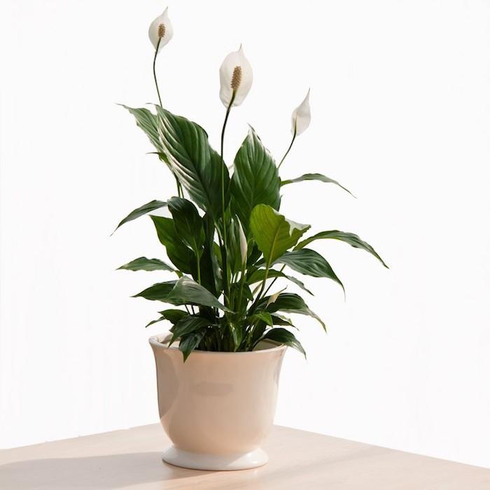 plante-spathiphyllum-plantes-detoxifiantes-anti-pollution-depolluante