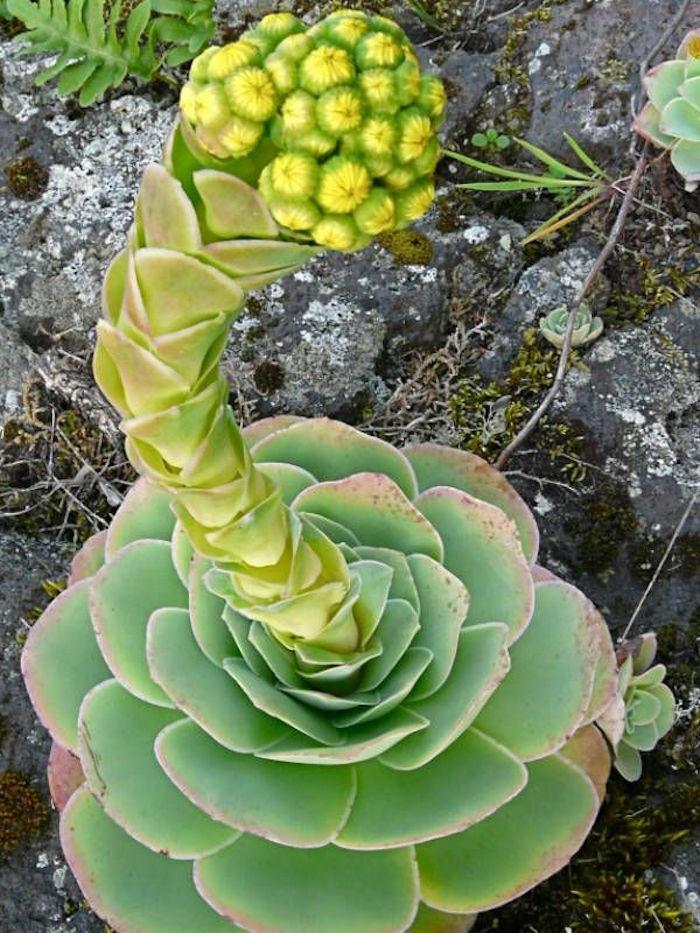 plantes-grasses-exterieur-plante-succulente-aeonium