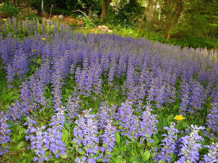 plantes-rampantes-plante-couvre-sol-talus-fleurs-tapissantes