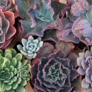 Plante Succulente – une leçon d'économie (d'eau)
