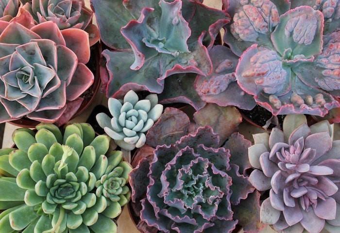 plantes-succulentes-echeveria-succulente-plantes-grasses