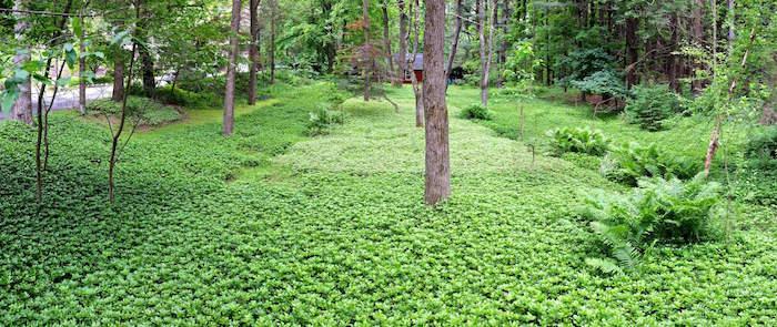 plantes-vivaces-couvre-sol-plante-couvre-sol-plante-tapissante