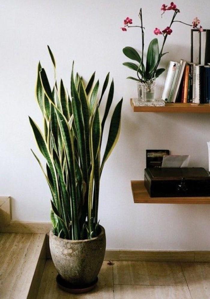 sanseviere-sanseviera-purifier-air-salon-appartement-assainir