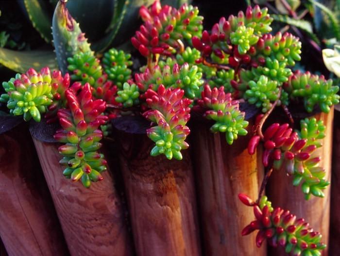 sedum-plantes-grasses-d-interieur-aloes-cactus-succulentes