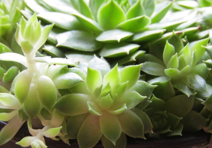 Plante succulente une le on d 39 conomie d 39 eau for Plante grasse exterieur rustique