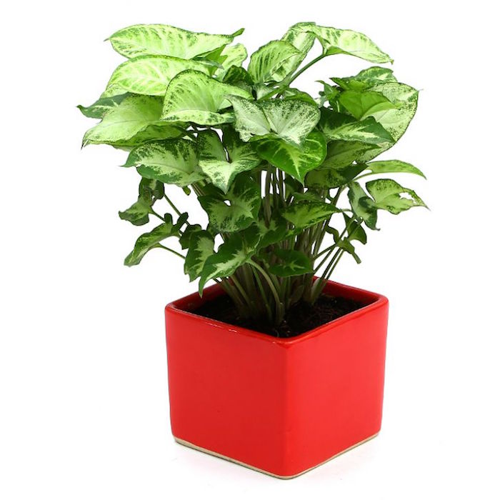 syngonium-plante-depolluante-pour-chambre-assainir-l-air