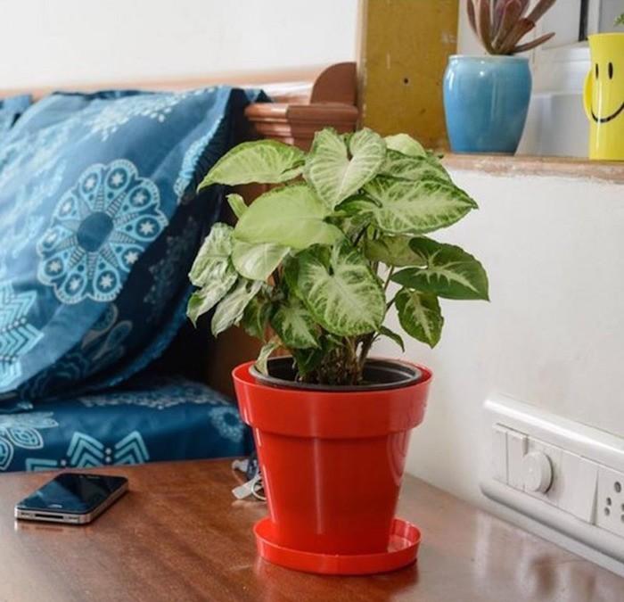 syngonium-plantes-purifier-assainir-interieur-appartement-bureau-depolluante