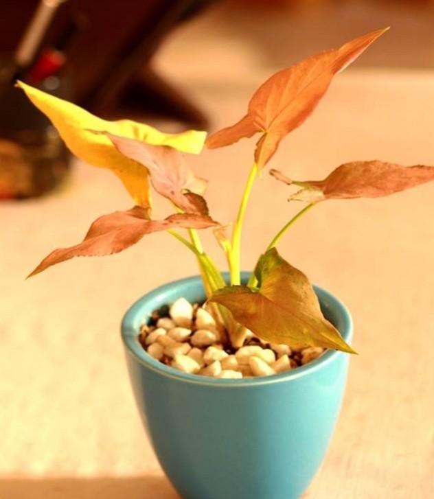 syngonium-regina-plante-d-interieur-depolluante-plantes-depolluantes