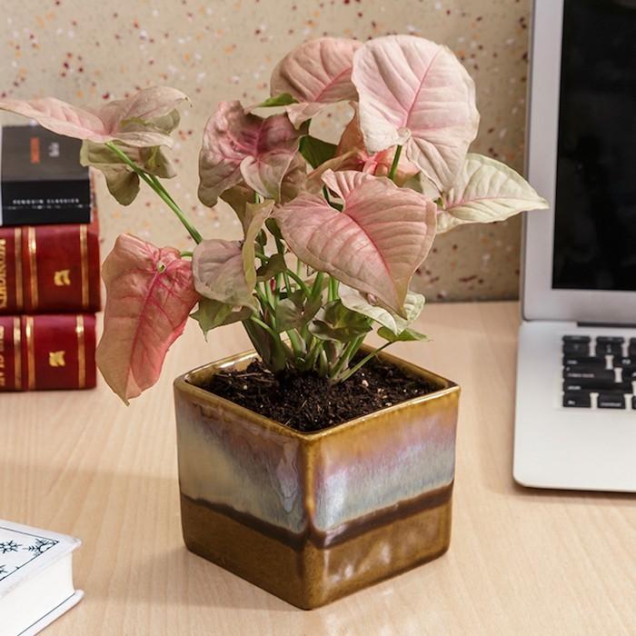 syngonium-rose-plantes-depolluantes-interieur-purifier-air-bureau