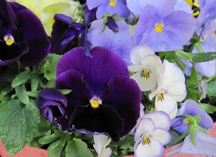 viola-violaceae-violette-pensee-fleurs-d-hiver