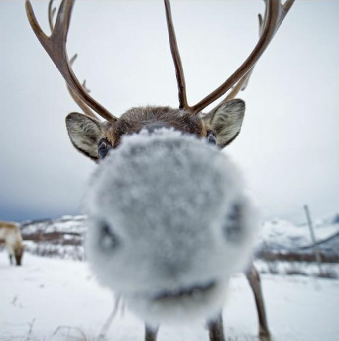 hauteur-neige-cerf-dans-les-montagnes-enneigées-cornes-tordus-yeux-marron