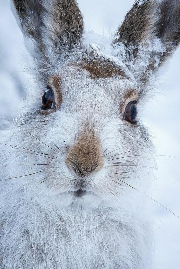 hauteur-neige-lièvre-couvert-de-neige-yeux-marron-animal-sauvage