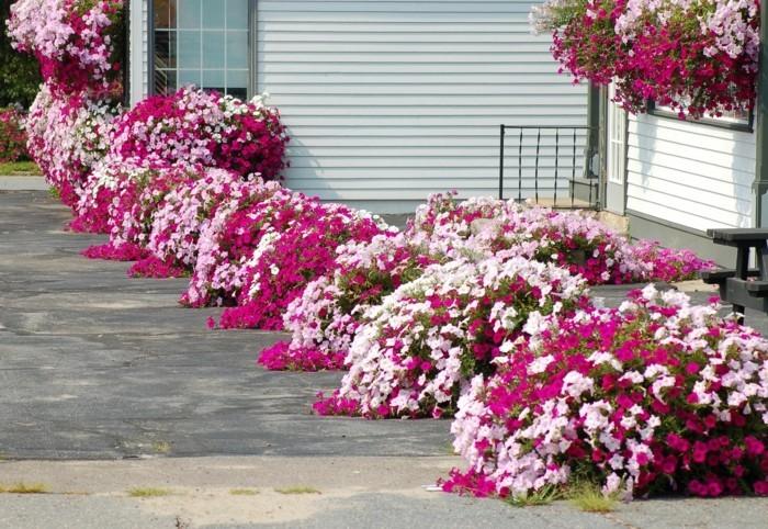 bordure parterre de fleurs, arbustes de pétunias, idée comment faire une parterre de fleurs, deco exterieure