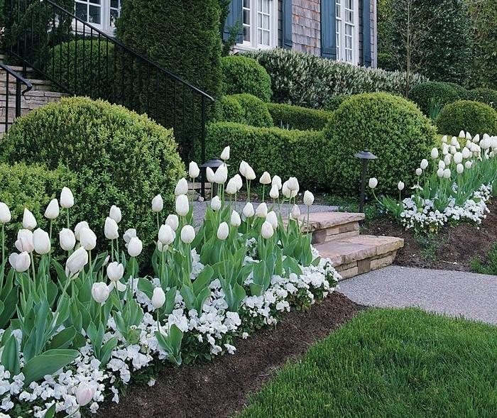 une maison rustique, gazon, multitude de buis, tulipes blancs et autres petites fleurs blanches, parterre de fleurs