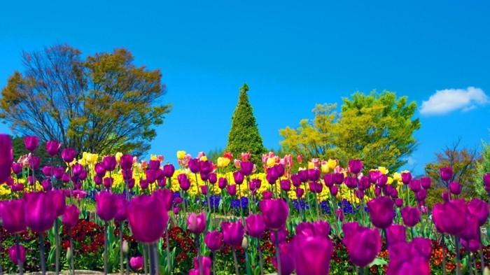 parterre de tulipes, mauves, jaunes, et bigarrés, decoration exterieure, arbres, autres fleurs plus basses