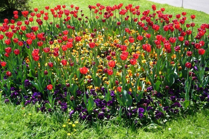 parterre fleuri, tulipes rouges et petites fleurs mauve et jaunes, idée de génie jardin intéressant, gazon