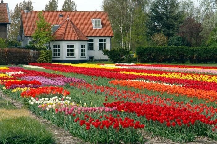 un long tapis de fleurs, parterre de fleurs, tulipes rouges, rose, blanches, jaunes, paysage pastoral, maison rustique de campagne