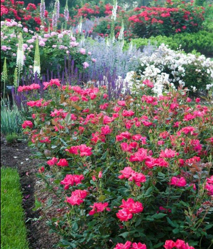 parterre fleuri de roses dans un jardin fleuri, idée de génie jardin intéressante, plusieurs couleurs et parfums