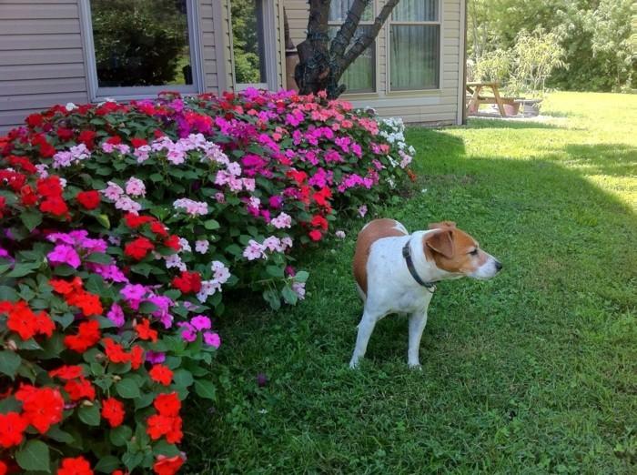 bordure parterre de fleurs, pétunias violettes, rose, rouges et blanches, bordant un gazon, chien, idee jardin amenagement