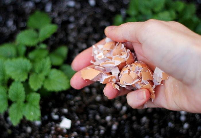 des coquilles d'oeufs écrasées pour fertiliser le sol, idée coquilles d oeufs au jardin utilisation, tomates et autre plantes