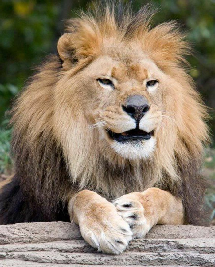Les animaux les plus mignons photo animaux trop mignon lion