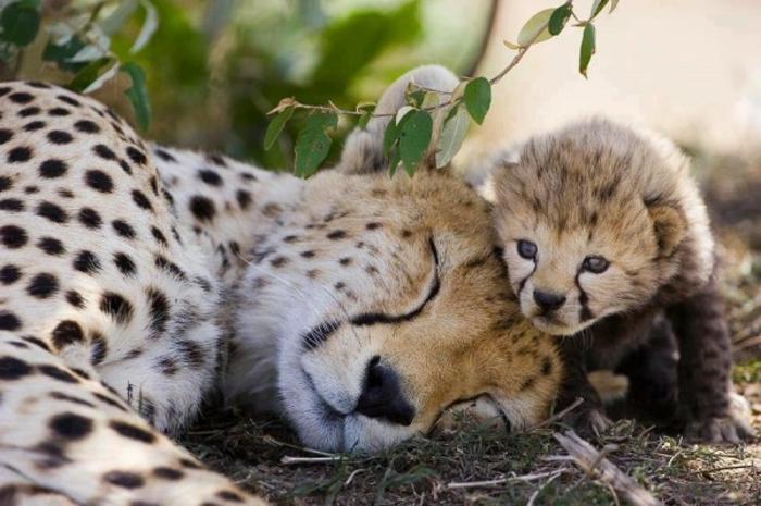 Image animaux trop mignon animal le plus mignon léopard