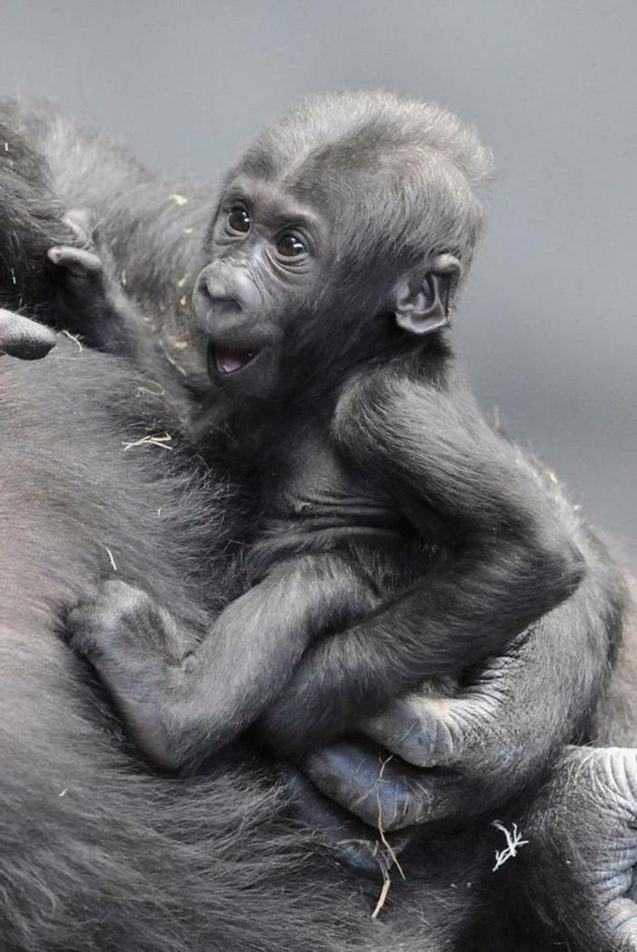 L animal le plus mignon du monde bébé animaux trop mignon gorille bébé