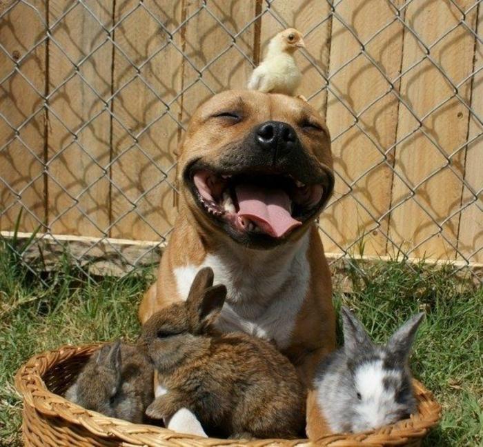 Ravissante photo d animaux trop mignon photo mignon chien ami avec bébé poulet