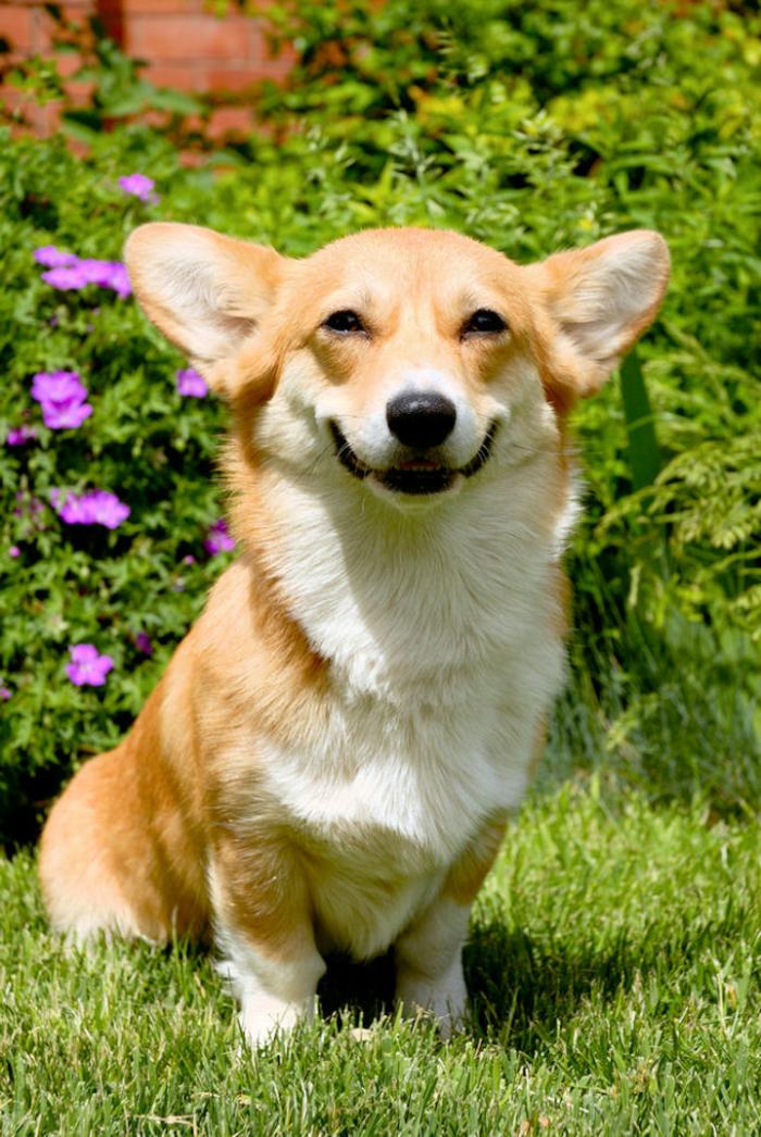 Animal mignon animaux les plus mignons corgi sourire chien dans la nature