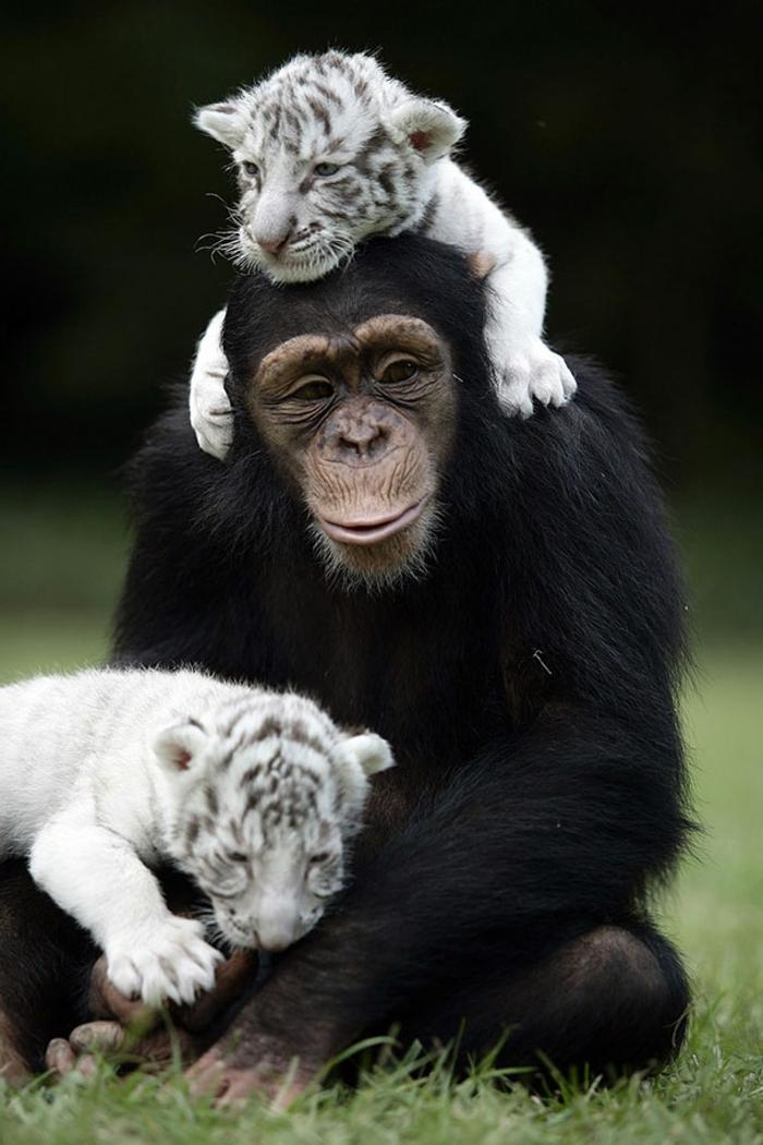 Magnifiqueimage d animaux mignon sourire gorille et tigres bébé