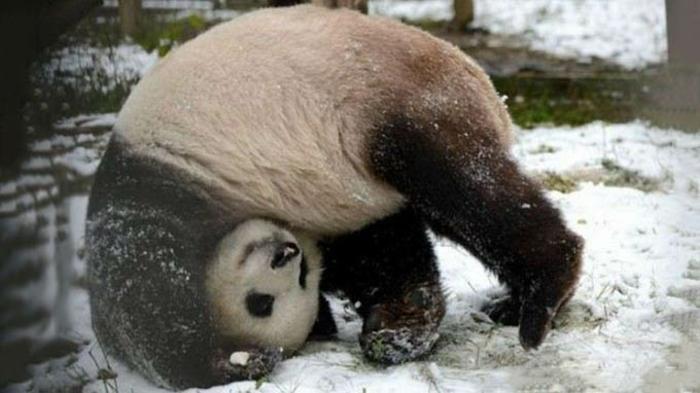 Nature photo de bébé animaux trop mignon panda