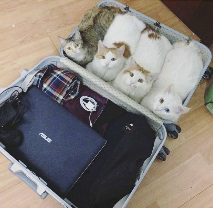 L animal le plus mignon du monde bébé animaux trop mignon chatons dans valise