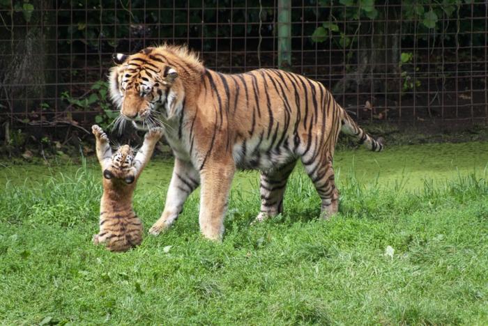 Animaux heureux animaux mignons animal tigre maman et bébé