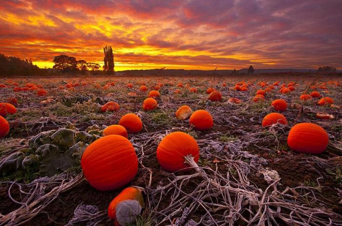 automne paysage, champ de citrouilles mûres et le coucher du soleil en orange et pourpre