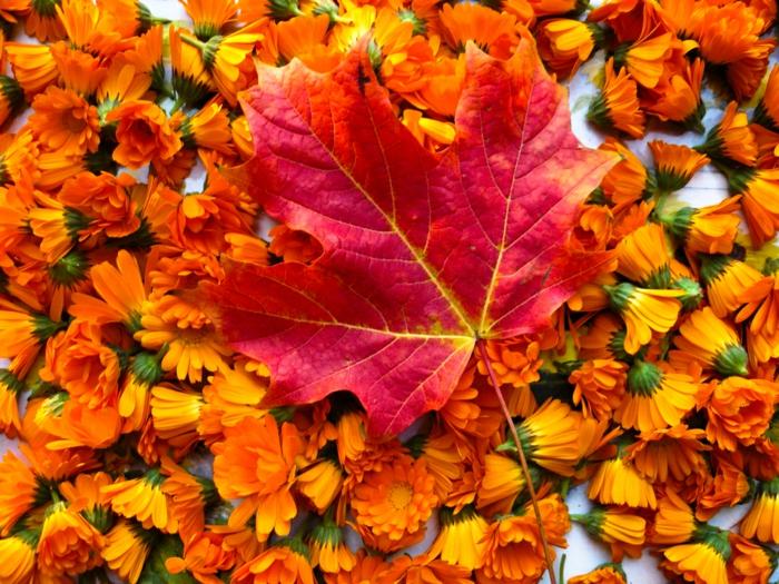 automne-paysage-fond-d'écran-magnifique-avec-soucis-et-feuille-d'érable